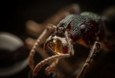 Rhytidoponera-metallica-Australia-8