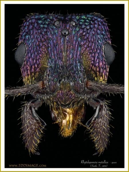 Rhytidoponera-metallica-queen-11-Smith-F.-1858