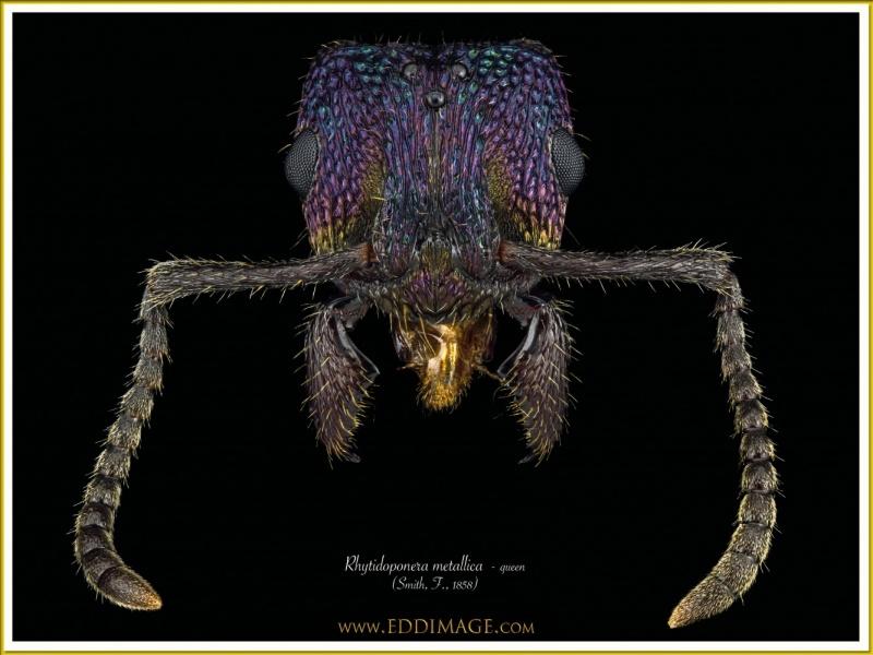 Rhytidoponera-metallica-queen-12-Smith-F.-1858