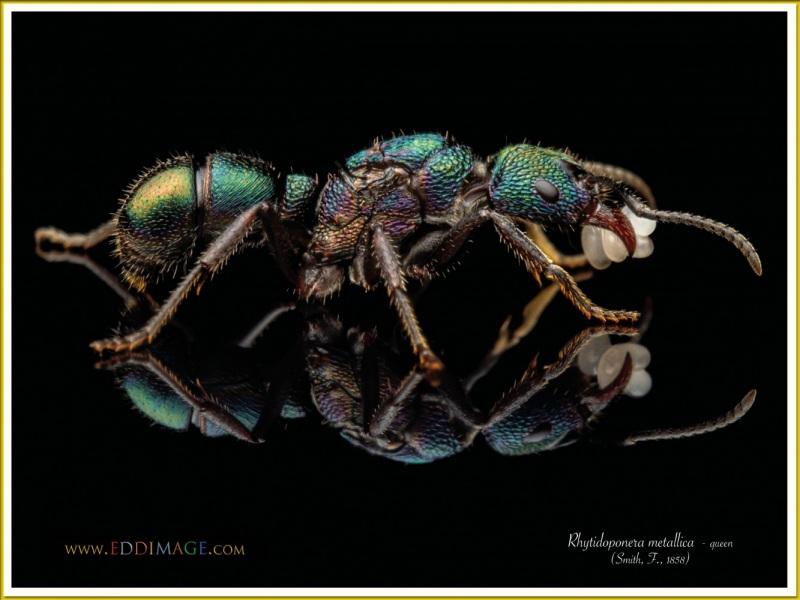 Rhytidoponera-metallica-queen-2-Smith-F.-1858