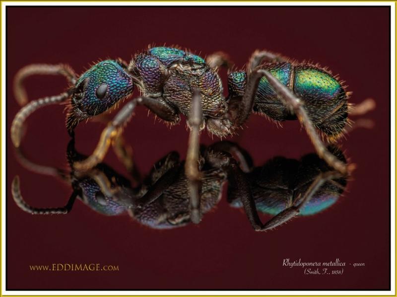 Rhytidoponera-metallica-queen-4-Smith-F.-1858