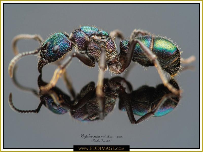 Rhytidoponera-metallica-queen-7-Smith-F.-1858