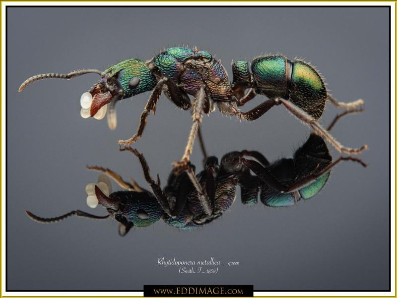 Rhytidoponera-metallica-queen-9-Smith-F.-1858