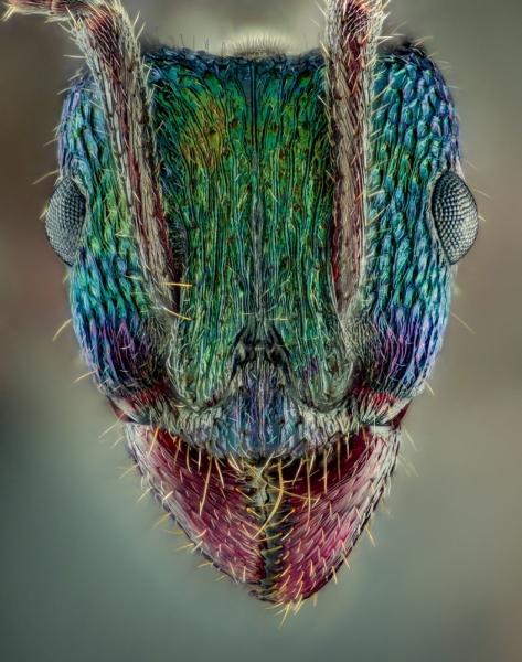 green head ant [Rhytidoponera metallica] - Australia-4