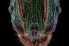 Rhytidoponera-metallica-Australia-2