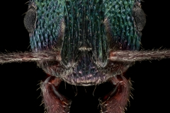 Rhytidoponera-metallica-Australia-5