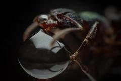 Rhytidoponera-metallica-Australia-6