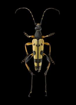 Rutpela-maculata-Poda-1761-UK 1