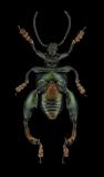 frog-legged-leaf-beetle-Sagra-buqueti-Thailand-2