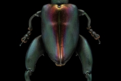 frog-legged-leaf-beetle-Sagra-buqueti-Thailand