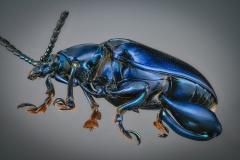 blue leaf beetle [Sagra femorata]-2
