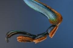 blue leaf beetle [Sagra femorata]-4