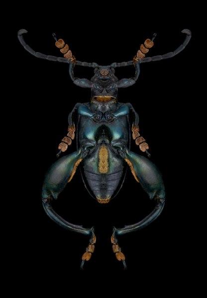 Sagra-oberthuri-Madagascar-4