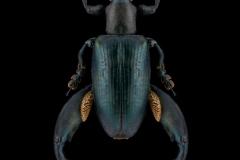 Sagra-oberthuri-Madagascar-2