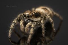 Zebra jumping spider [Salticus scenicus] - UK-10