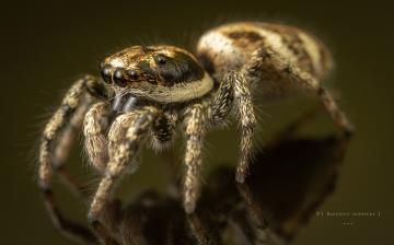 Zebra jumping spider [Salticus scenicus] - UK-11