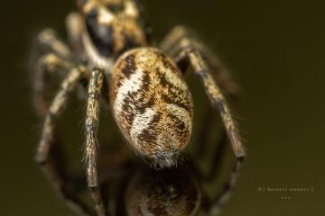 Zebra jumping spider [Salticus scenicus] - UK-12