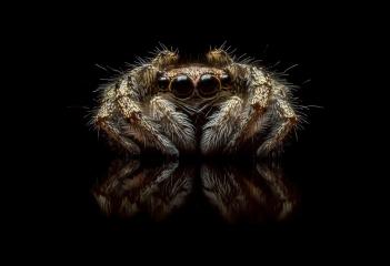 Zebra-jumping-spider-Salticus-scenicus-UK-14