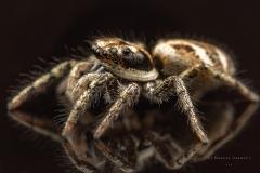 Zebra jumping spider [Salticus scenicus] - UK-2