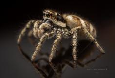 Zebra jumping spider [Salticus scenicus] - UK-3