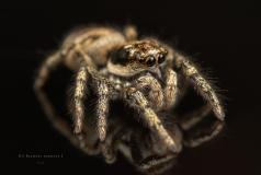 Zebra jumping spider [Salticus scenicus] - UK-4