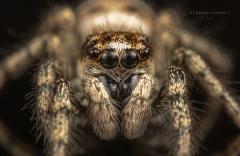 Zebra jumping spider [Salticus scenicus] - UK-6
