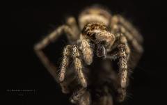 Zebra jumping spider [Salticus scenicus] - UK-8