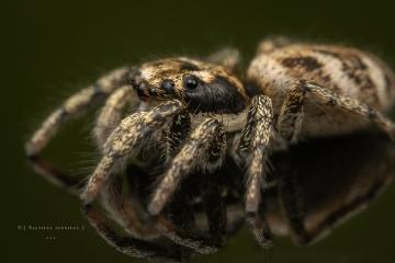 Zebra jumping spider [Salticus scenicus] - UK-9