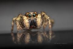 Zebra jumping spider [Salticus scenicus] - UK copy 2