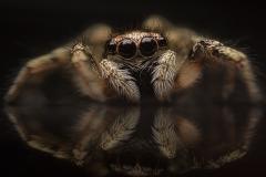 Zebra-jumping-spider-Salticus-scenicus-UK-15