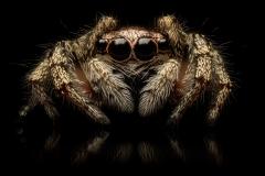 Zebra-jumping-spider-Salticus-scenicus-UK-16