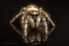 Zebra jumping spider [Salticus scenicus] - UK-5