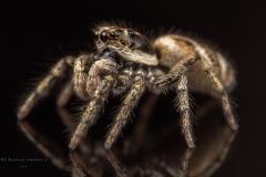 Zebra jumping spider [Salticus scenicus] - UK-7