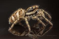 Zebra jumping spider [Salticus scenicus] - UK