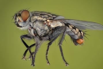 flesh fly - [Sarcophaga carnaria]-3