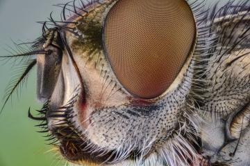 flesh fly - [Sarcophaga carnaria]-4