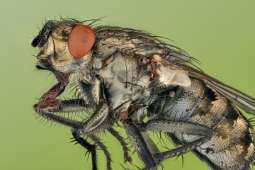 flesh fly - [Sarcophaga carnaria]