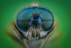 soldier fly-2