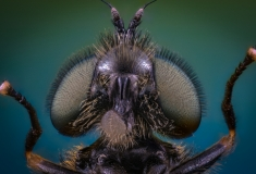soldier fly-5