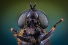 soldier fly-4