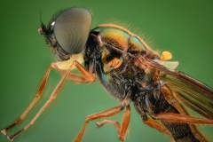 two-spotted centurion soldier fly