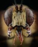 Sphex sp - Madagascar-2