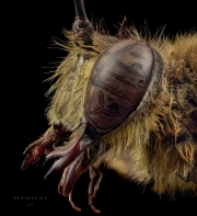 Sphex sp - Madagascar-3