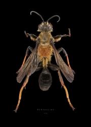 Sphex sp - Madagascar-4