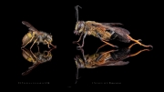 Sphex sp - Madagascar-5