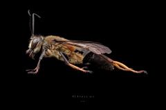 Sphex sp - Madagascar