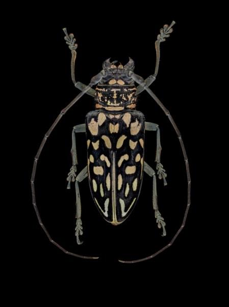 Stellognata-maculata-Madagascar-2