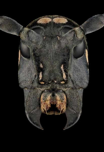 Stellognata-maculata-Madagascar-4