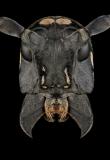 Stellognata-maculata-Madagascar-5