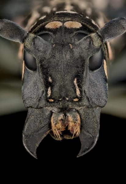 Stellognata-maculata-Madagascar-7